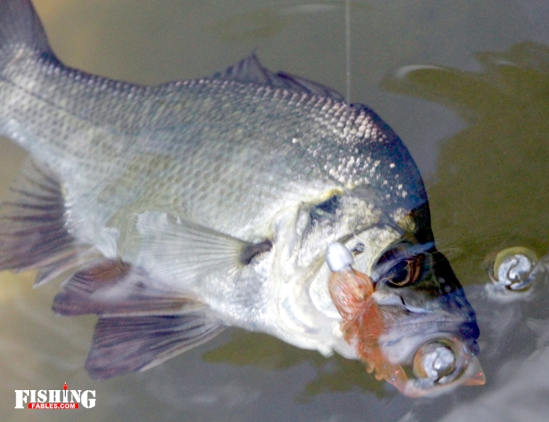 Estuary Perch - one of my favourite lure fish targets